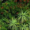 Kirstenbosch 46.JPG