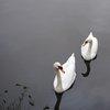 Лебеди - един от символите на града
