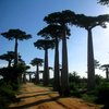 Avenue Of The Baobabs 33