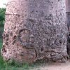 Avenue Of The Baobabs 47