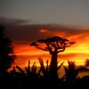 Avenue Of The Baobabs 49