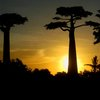 Avenue Of The Baobabs 43