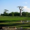Avenue Of The Baobabs 37