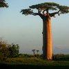 Avenue Of The Baobabs 41