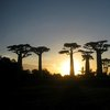 Avenue Of The Baobabs 42