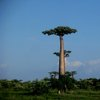 Avenue Of The Baobabs 34