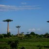 Avenue Of The Baobabs 32