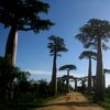 Avenue Of The Baobabs 31