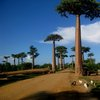 Avenue Of The Baobabs 36
