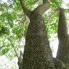 бодливият ствол на дървото Hura crepitans (лат.), познато като Динамитено дърво