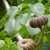 Плод на Hura crepitans (Динамитено Дърво)