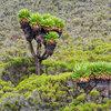 Senecio Kilimanjari, растение характерно за определен пояс на планината Килиманджаро тука е около 4000м.н.р.