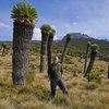 Аз сред Senecio Kilimanjari :)