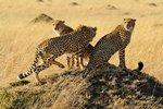 Three cheetah brothers in Masai Mara National Reserve