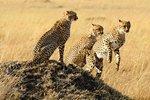 Three cheetah brothers in Masai Mara