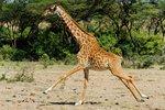 Running giraffe in Ol Kinyei Conservancy, Kenya.