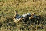 Rolling Cheetah in Ol Kinyei Conservancy, Kenya.