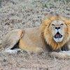 Roaring lion in Ol Kinyei private conservancy, Masai Mara ecosystem, Kenya