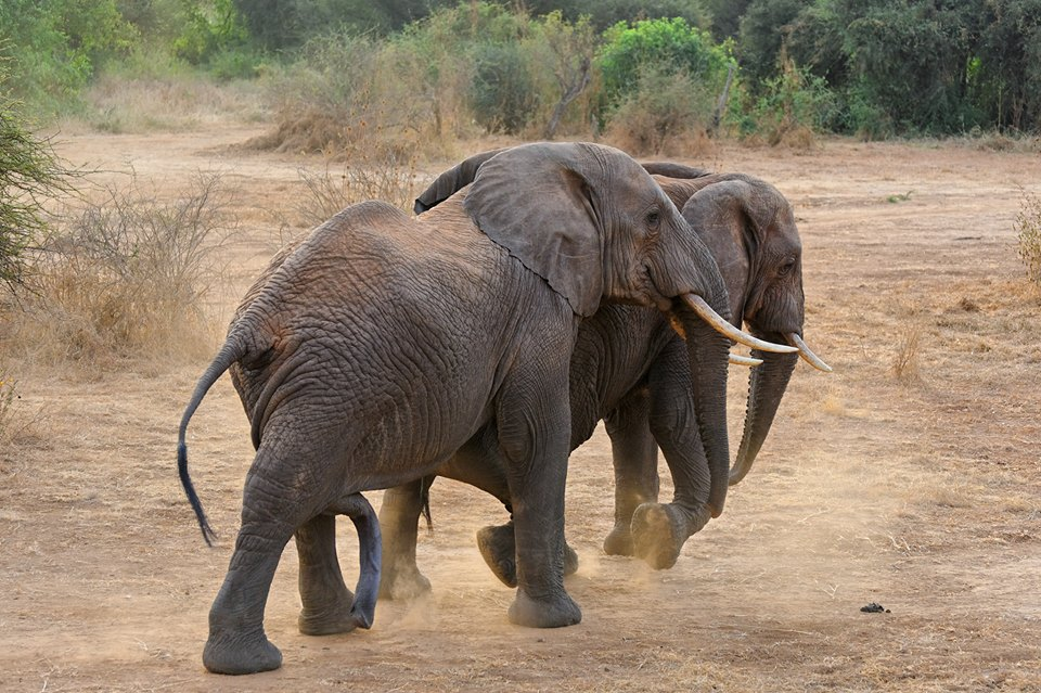 Selenkay private conservancy, Amboseli ecosystem, Kenya