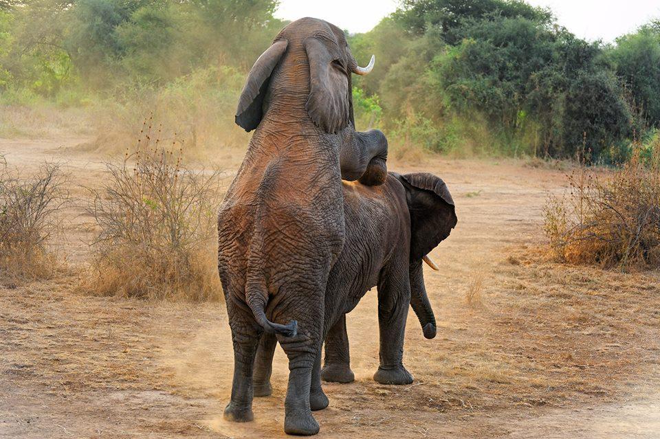 Mating elephants, Selenkay private conservancy, Amboseli ecosystem