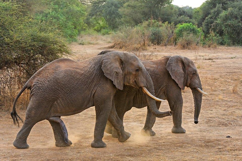 Кой от двата слона е мъжкият? Главите им били по-квадратни :)