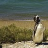 Peninsula Valdes Magellanic penguins