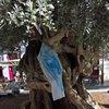 Старата маслина в Палма